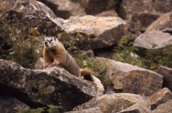 Yellow-bellied Marmot with general habitat Photo