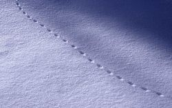 Mouse tracks in snow Photo