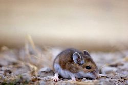 Deer Mouse Photo