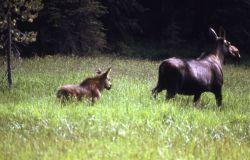 Moose cow & calf Photo