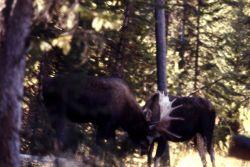 Moose fight Photo