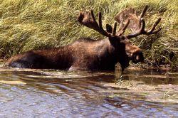 Bull moose in water Photo