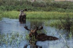 Moose in water Photo