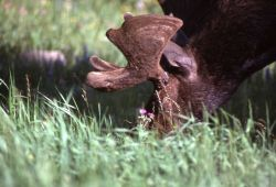 Moose feeding Photo