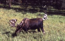 Bull moose in meadow Photo