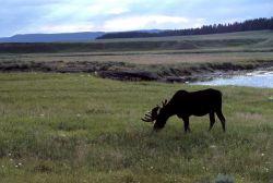 Moose in Pelican Valley Photo