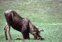 Moose grazing on knees Photo