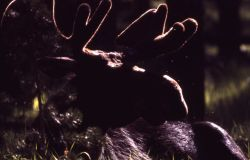 Silhouette of moose in velvet Photo