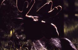 Silhouette of moose in velvet Photo
