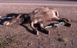 Roadkill moose Photo
