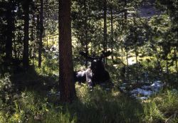 Bull moose in shadowy trees Photo