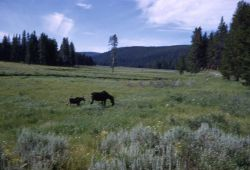 Cow moose & calf grazing in meadow Photo