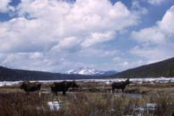 Three moose at Willow Park Photo