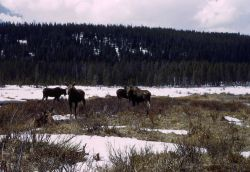 Four moose at Willow Park Photo