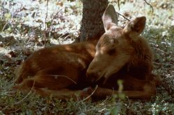 Moose calf lying down Photo