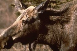 Head view of cow moose Photo