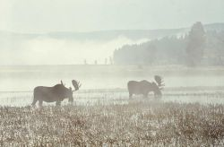 Moose in Hayden Valley Photo