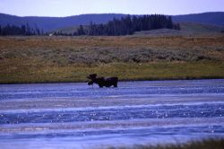 Bull moose in Alum Creek Photo