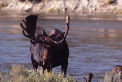 Moose at Yellowstone River Photo