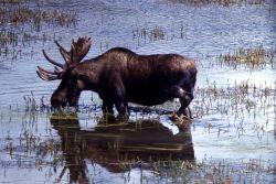 Moose in Hayden Valley Photo