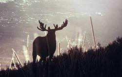 Bull moose Photo