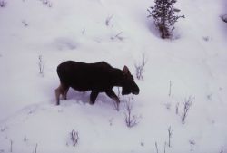 Moose in snow Photo