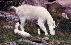 Mountain goat in Glacier National Park Photo