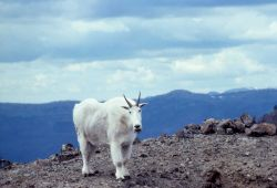 Mountain goat on the Thunderer Photo