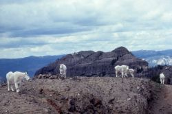 Mountain goats on the Thunderer Photo