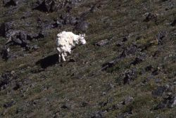 Mountain goat losing winter coat in the Beartooths Photo