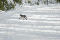 Mountain lion kitten walking on groomed road Photo