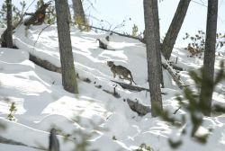 Mountain lion kitten standing on downed tree Photo