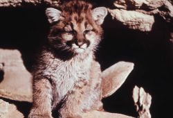 Mountain lion cub Photo
