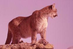 Mountain lion Photo