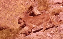 Mountain lion in rocks Photo