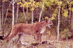Mountain lion in yellow aspens Photo