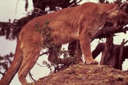 Mountain lion looking down from rock Photo