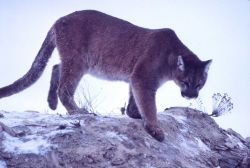 Mountain lion climbing down rock Photo