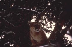 Mountain lion in tree Photo