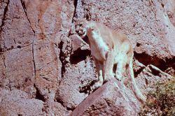 Mountain lion sitting on rocks Photo
