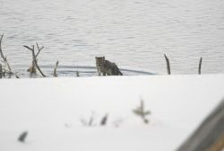 Mountain lion kitten climbing out of the Madison River Photo