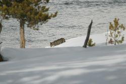Mountain lion kitten walking along the Madison River Photo