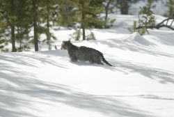 Mountain lion kitten in snow, note tail drag Photo