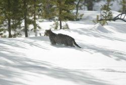 Mountain lion kitten in snow, note tail drag Photo