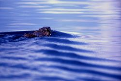 Muskrat swimming in the Yellowstone River Photo