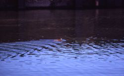 Muskrat swimming in pond Photo