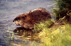 Muskrat feeding on shore Photo