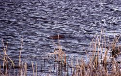 Muskrat swimming in Floating Island Lake Photo