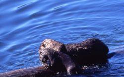 Otter & pup eating fish at Trout Lake Photo