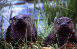 Two otters at Trout Lake Photo
